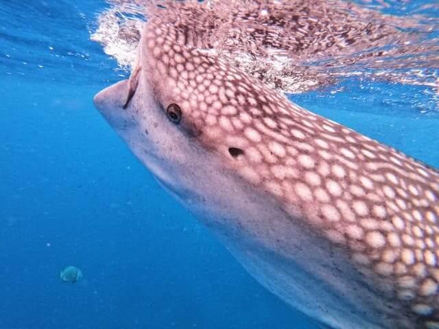 最新版2021年】セブ島・オスロブでジンベイザメと泳ぐ方法