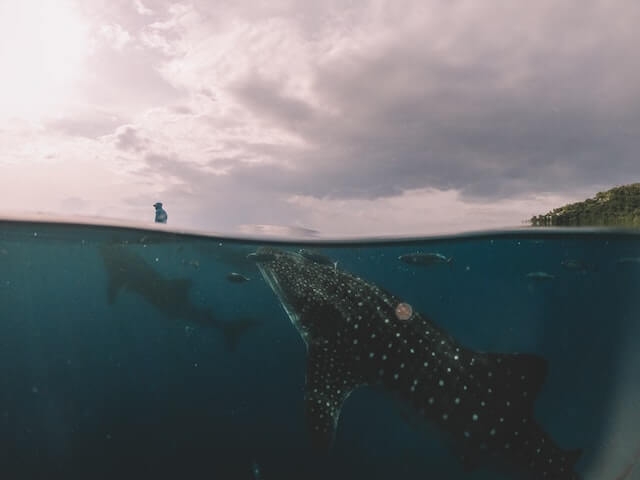ボホール島ジンベイザメと泳ぐ方法【自力&ツアー利用を徹底比較!】