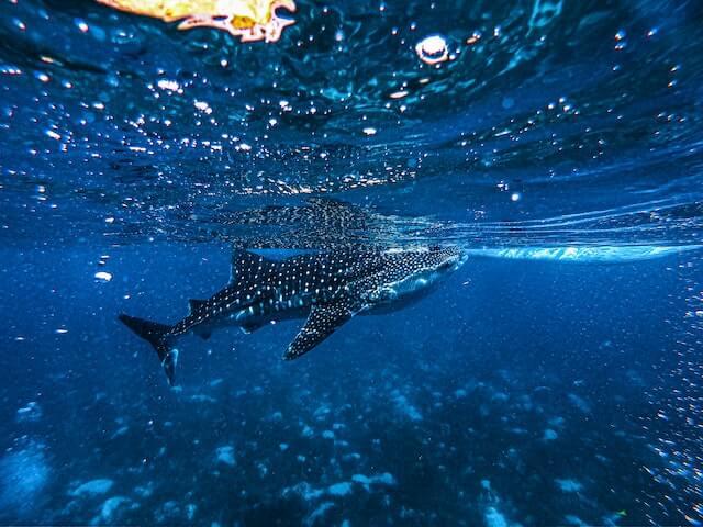 【最新版2021年】セブ島・オスロブでジンベイザメと泳ぐ方法