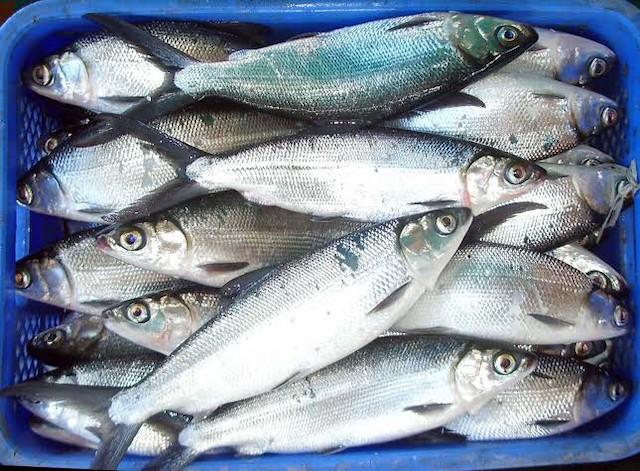 【フィリピンの魚】現地で食べられる魚9選まとめ